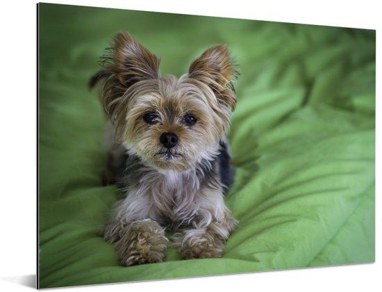 Een Yorkshire Terrier ligt op een groen kussen Aluminium 160x120 cm - Foto print op Aluminium (metaal wanddecoratie) XXL / Groot formaat!