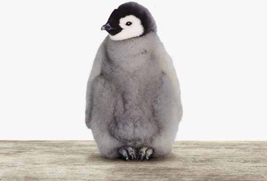 Baby pinguïn - Print op Vurenhout - 40x40 cm