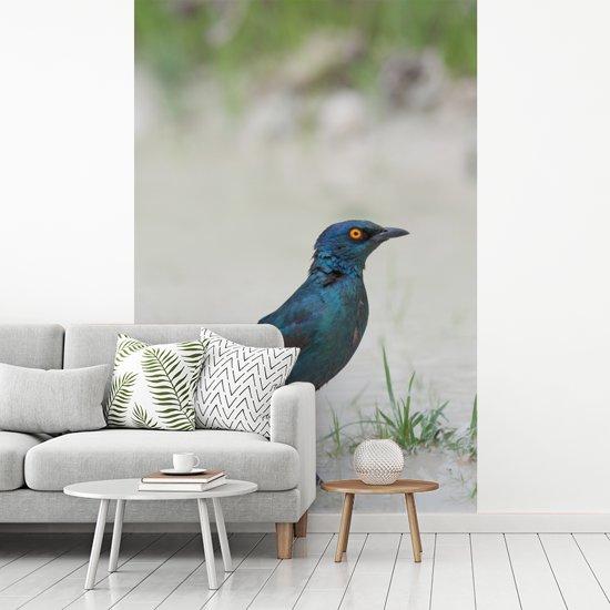 Fotobehang vinyl - Roodschouderglansspreeuw in een plas water breedte 190 cm x hoogte 280 cm - Foto print op behang (in 7 formaten beschikbaar)