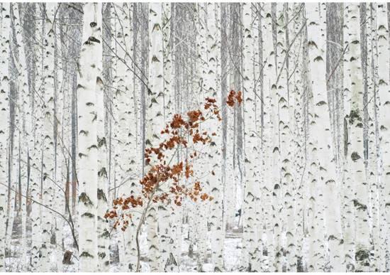 Fotobehang Wit Berken Bos - 4 delig - 368 x 254 cm - Multi