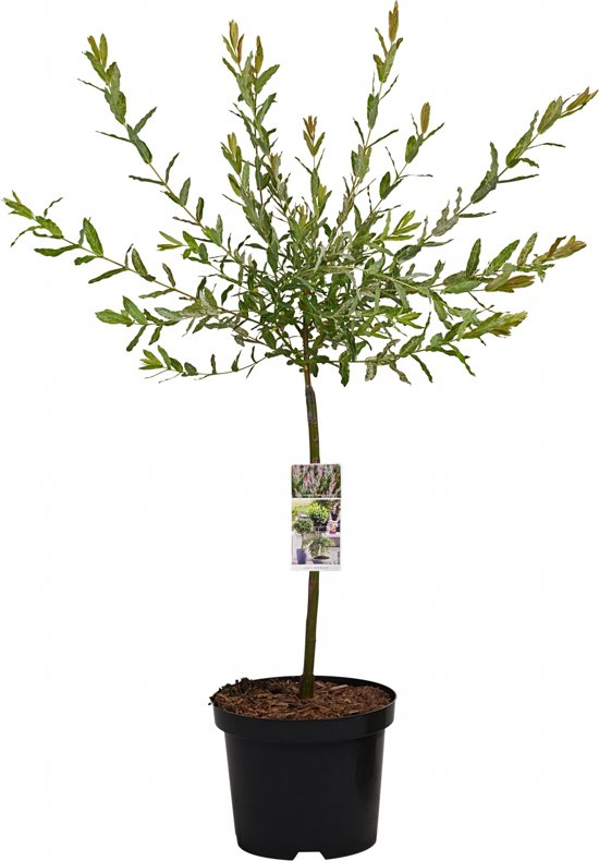 Bonte wilg op stam - Salix Integra Hakuro Nishiki - 85 cm