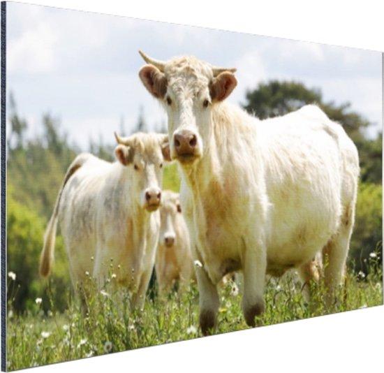 Witte koeien in het veld Aluminium 90x60 cm - Foto print op Aluminium (metaal wanddecoratie)