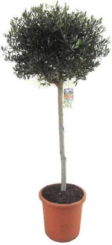 Olijfboom op stam XL | Hoogte 170cm
