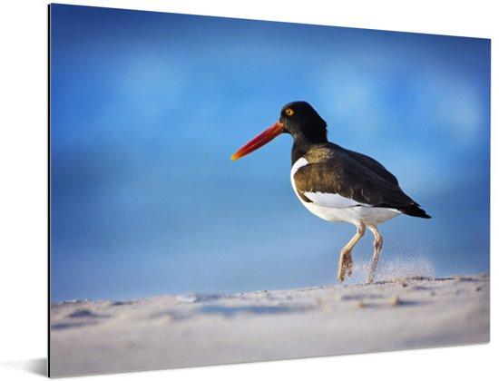 Scholekster loopt door het zand Aluminium 80x60 cm - Foto print op Aluminium (metaal wanddecoratie)