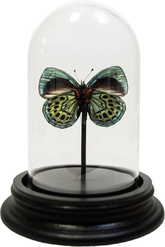 Opgezette vlinder in glazen stolp - Callithea leprieuri