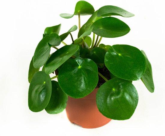 Kamerplanten van Hee Dat Is Het - 3 stuks Pannenkoekenplant - Peperomioides 22cm hoog