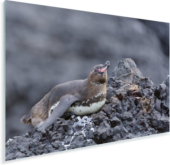Galapagos pinguïn liggend op lavarots Plexiglas 90x60 cm - Foto print op Glas (Plexiglas wanddecoratie)