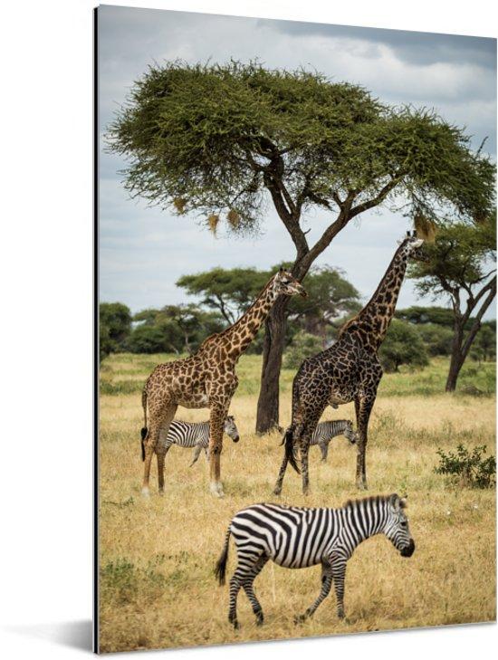 Giraffen en Zebras samen op de savanne van het Nationaal park Serengeti Aluminium 40x60 cm - Foto print op Aluminium (metaal wanddecoratie)