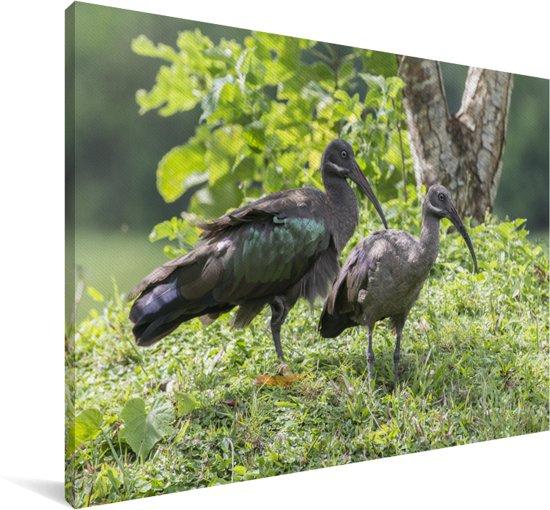 Een mannelijke en vrouwelijke hadada-ibis in Afrika Canvas 180x120 cm - Foto print op Canvas schilderij (Wanddecoratie woonkamer / slaapkamer) XXL / Groot formaat!