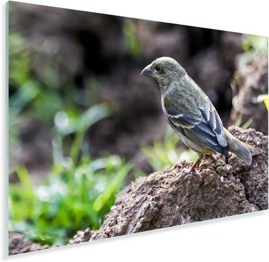 Roodmus op de aarde Plexiglas 30x20 cm - klein - Foto print op Glas (Plexiglas wanddecoratie)