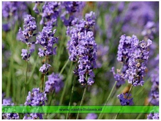 Lavendel Munstead Set 12 stuks