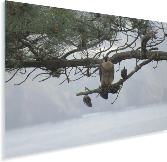 Een slechtvalk kijkt uit vanaf een boomtak Plexiglas 160x120 cm - Foto print op Glas (Plexiglas wanddecoratie) XXL / Groot formaat!