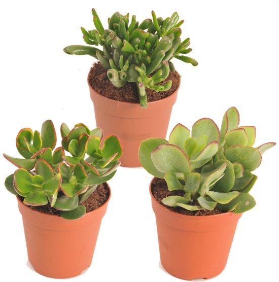 Bloeiende Vetplanten Voor Buiten.Vetplanten Mix Crassula Soorten Plant Is 20 Cm Hoog Per 3 Stuks