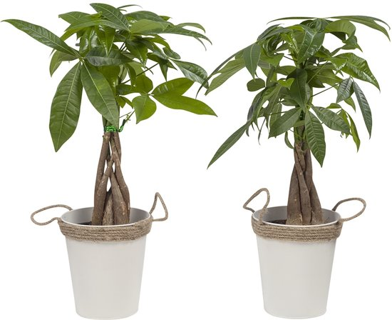 Kamerplant Hoge Pot.2 Pachira Aquatica Zink Oftewel Watercacao Kamerplant In Kwekers Pot 13 Cm Hoogte 38 Cm