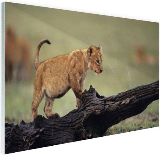 Jong leeuwtje in Kenia Glas 60x40 cm - Foto print op Glas (Plexiglas wanddecoratie)