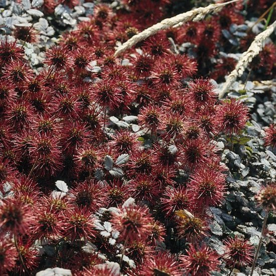 3 Stuks Acaena Microphylla Kupferteppich