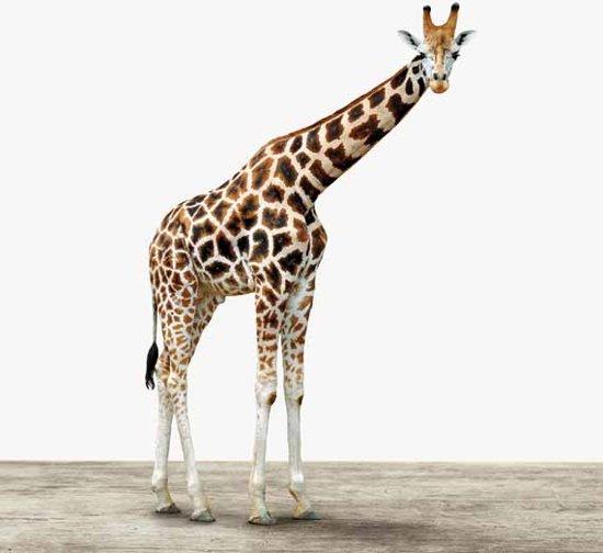 Giraffe - Print op Aluminium - 40x40 cm