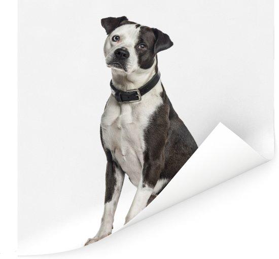Portret van een zwart met witte Amerikaanse staffordshire terriër Poster 30x30 cm - Foto print op Poster (wanddecoratie woonkamer / slaapkamer) / Huisdieren Poster