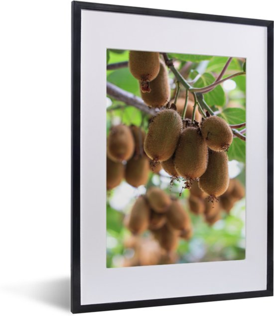 Foto in lijst - Kiwi's rijpen in de brandende zon aan een tak fotolijst zwart met witte passe-partout klein 30x40 cm - Poster in lijst (Wanddecoratie woonkamer / slaapkamer)