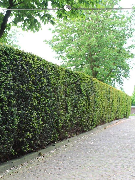Venijnboom Taxus baccata 80-100 cm, 20x haagplant, incl. bezorging