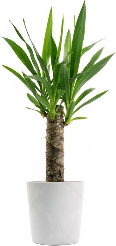 Bolcom Yucca Plant Met Sier Overpot Leuk Voor Kantoor Of Huis