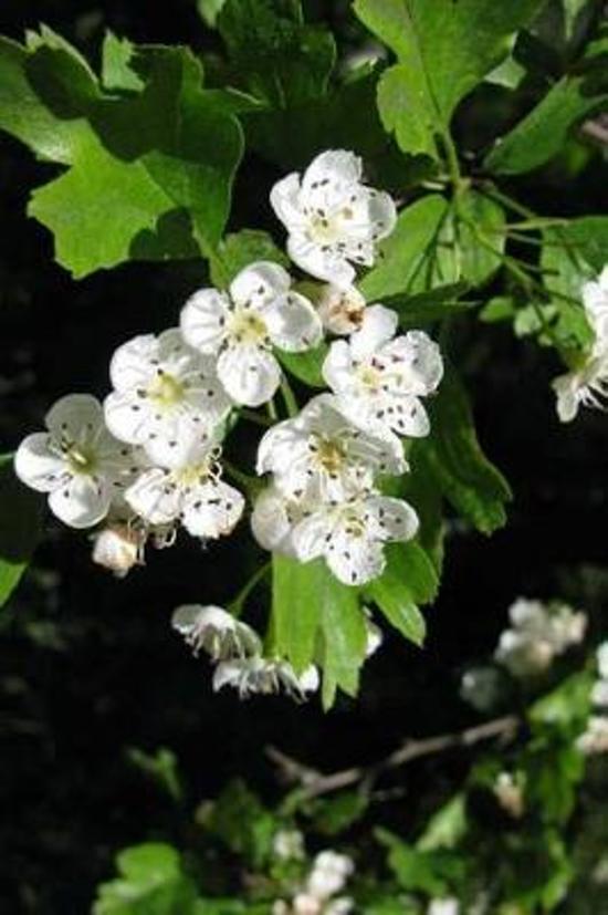 Missouri State Flower - Hawthorn Journal