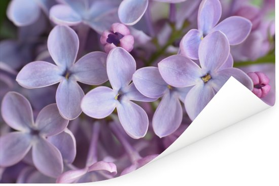 Close up van paarse seringen Poster 30x20 cm - klein - Foto print op Poster (wanddecoratie woonkamer / slaapkamer)