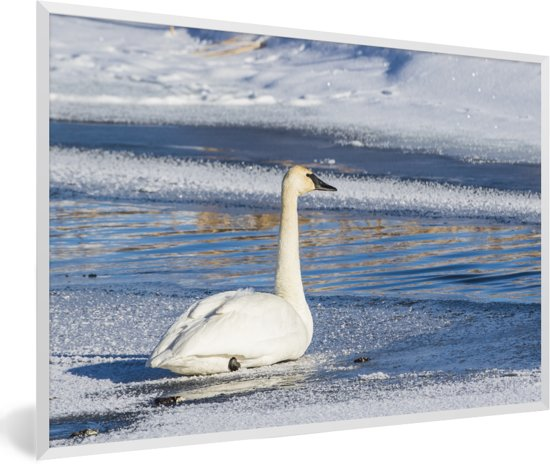Foto in lijst - Een trompetzwaan zwemt in een winters landschap fotolijst wit 60x40 cm - Poster in lijst (Wanddecoratie woonkamer / slaapkamer)