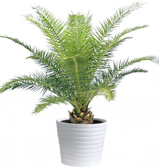 Phoenix Canariensis Ca. 100cm Hoog Mooie Palm Kantoor Huiskamer