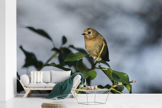 Fotobehang vinyl - Een goudhaan tussen de groene bladeren van een tak breedte 375 cm x hoogte 240 cm - Foto print op behang (in 7 formaten beschikbaar)
