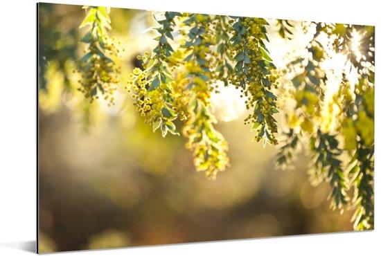 Close up van gele acacia bloemen in zonlicht Aluminium 30x20 cm - klein - Foto print op Aluminium (metaal wanddecoratie)