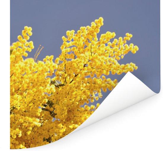 Felgele mimosa bloemen met blauwe lucht Poster 100x100 cm - Foto print op Poster (wanddecoratie woonkamer / slaapkamer)