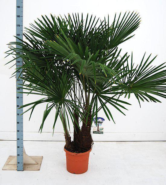 palmbomen tuin en balkonplant trachycarpus fortunei doorsnede pot 35cm hoogte. Black Bedroom Furniture Sets. Home Design Ideas