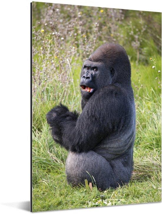 Een naar voedsel zoekende zwarte Gorilla Aluminium 60x90 cm - Foto print op Aluminium (metaal wanddecoratie)