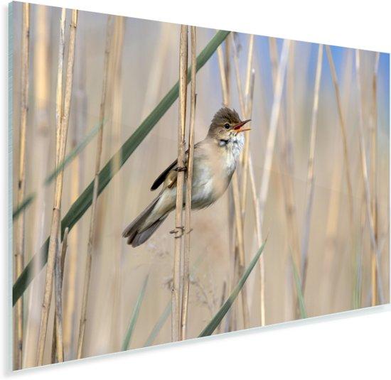 Kleine karekiet zingend tussen het riet Plexiglas 180x120 cm - Foto print op Glas (Plexiglas wanddecoratie) XXL / Groot formaat!