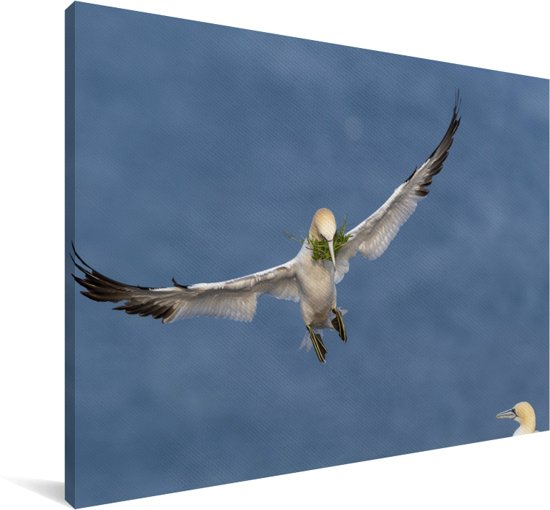 Jan-van-gent met nestmateriaal in de snavel Canvas 180x120 cm - Foto print op Canvas schilderij (Wanddecoratie woonkamer / slaapkamer) XXL / Groot formaat!
