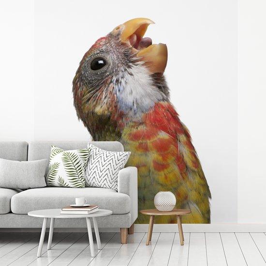 Fotobehang vinyl - Een prachtrosella heeft haar bek open breedte 410 cm x hoogte 450 cm - Foto print op behang (in 7 formaten beschikbaar)