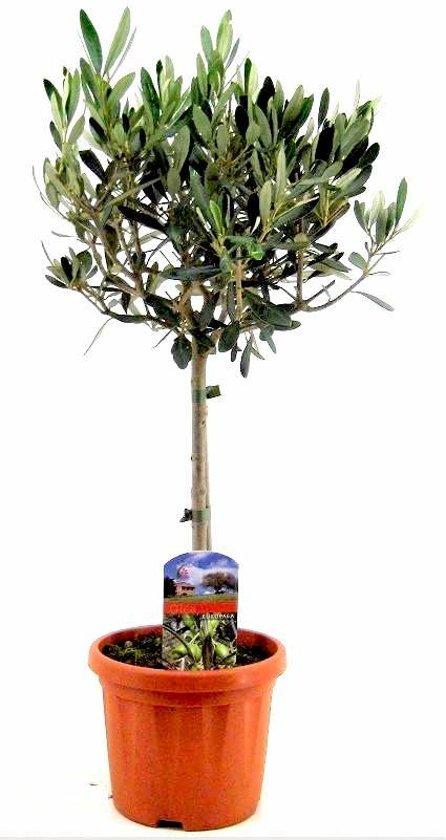 Olijfboom op stam S | Hoogte 60cm