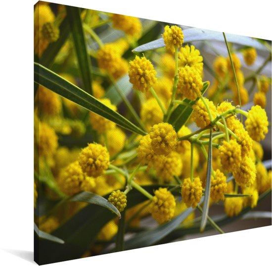 Mimosa bloeit in de lente Canvas 160x120 cm - Foto print op Canvas schilderij (Wanddecoratie woonkamer / slaapkamer) XXL / Groot formaat!