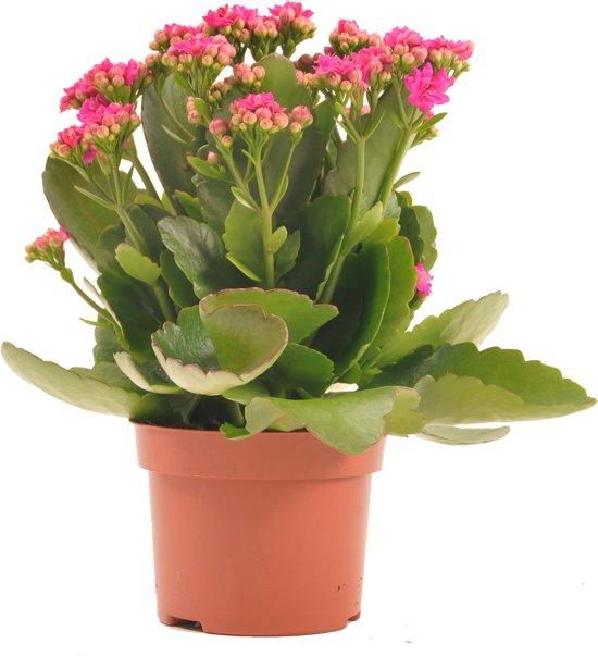 Bloeiende Vetplanten Voor Buiten.Sterke Bloeiende Vetplanten Kalanchoe Voor Binnen En