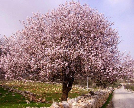 Prunus dulcis - Amandelboom met 100+cm hoogte incl. ø 17cm pot