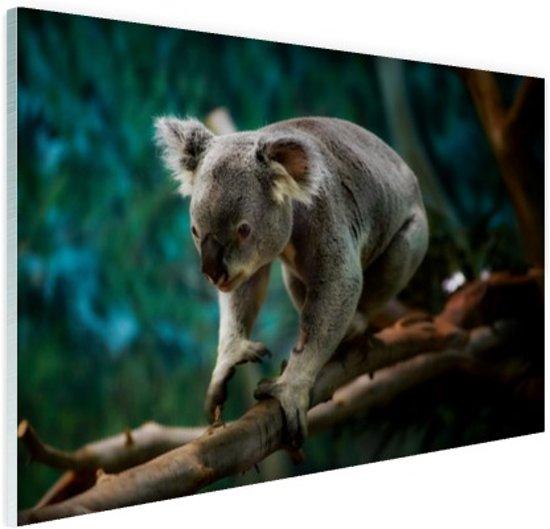 Klimmende koala op tak Glas 30x20 cm - Foto print op Glas (Plexiglas wanddecoratie)