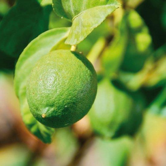 Limoenboom - Citrus aurantifolia Lime Verde - 50cm hoog
