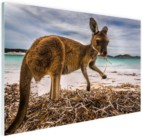 Wallaby op het strand Glas 60x40 cm - Foto print op Glas (Plexiglas wanddecoratie)