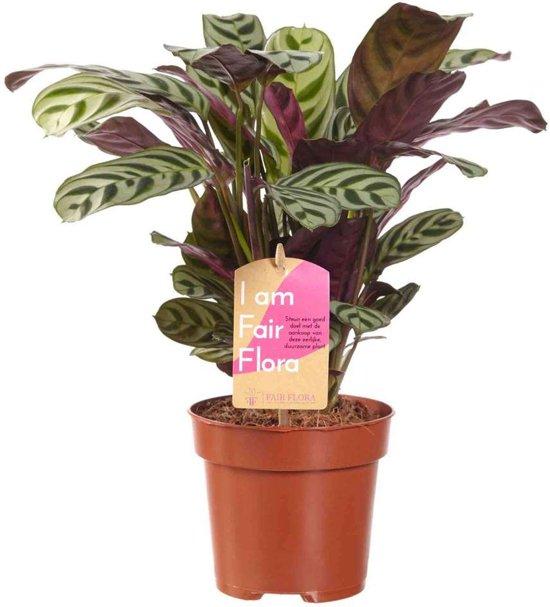 Choice of Green - Ctenanthe burle-marxii - Calathea - Kamerplant in Kwekerspot ⌀12 cm - Hoogte ↕40 cm