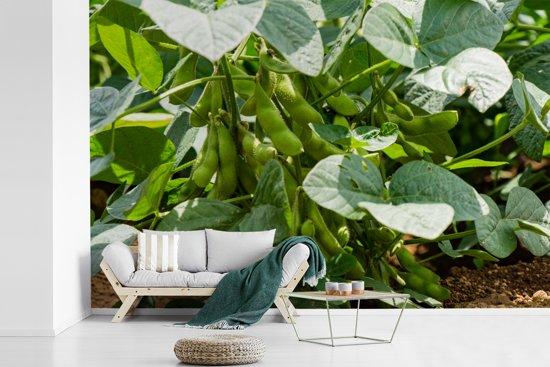 Fotobehang vinyl - Groeiende sojabonen tijdens een zonnige dag breedte 420 cm x hoogte 280 cm - Foto print op behang (in 7 formaten beschikbaar)