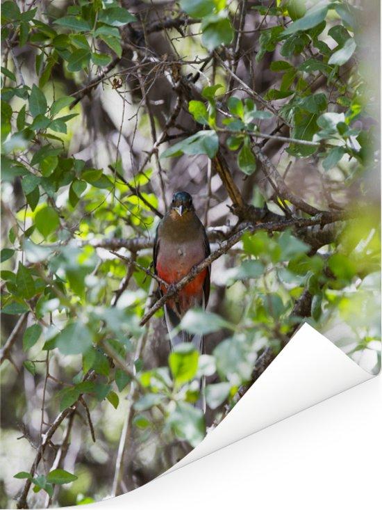 Een Narina-trogon verstopt zicht tussen de bladeren Poster 60x80 cm - Foto print op Poster (wanddecoratie woonkamer / slaapkamer)