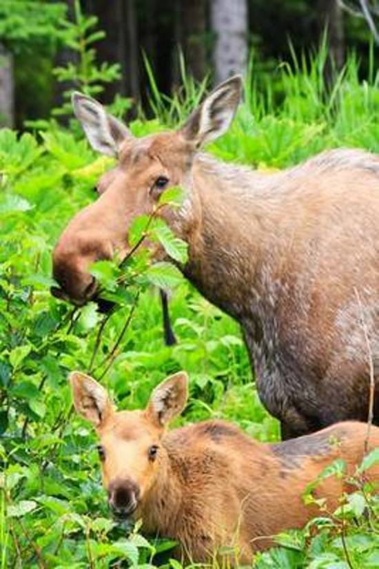 Bolcom A Mother Moose With Her Baby Moose Animal Family Journal