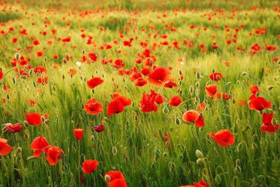 Papermoon Field of Poppies Vlies Fotobehang 250x186cm 5-Banen