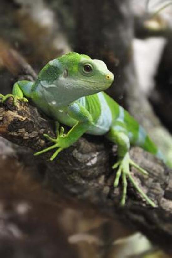 Green Iguana in Fiji Journal